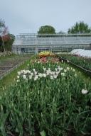 Tulips at Rosenthal Garden