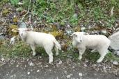 Baby sheep on the way to Nærøyfjord