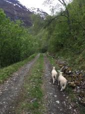Lost baby sheep in Nærøyfjord